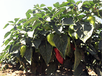 Cultivo del pimiento