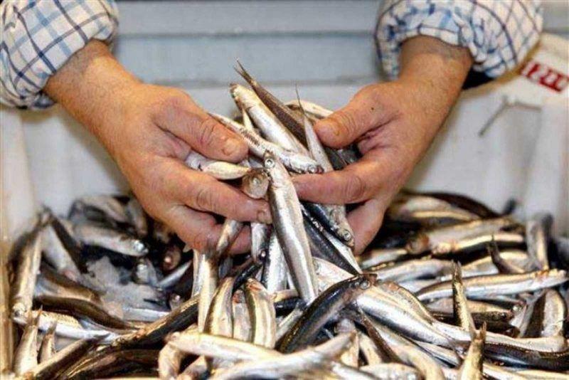 El mayor stock de anchoa del Cantábrico